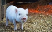 【热点关注】养猪到底有多赚钱?
